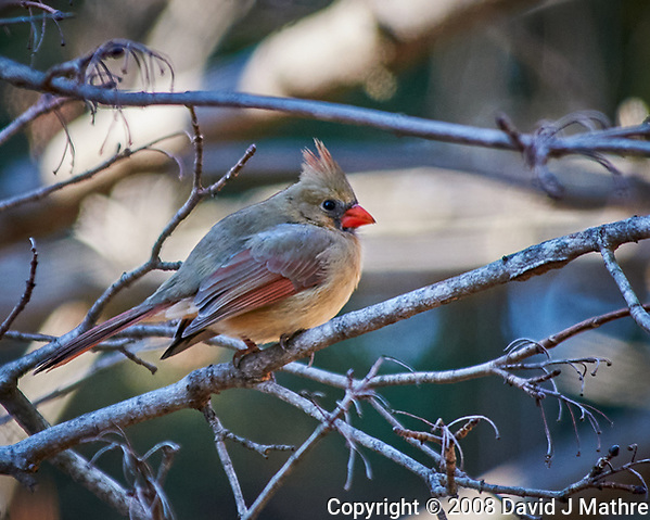 Female Northern Cardinal perched on a branch. Image taken with a Nikon D300 camera and 80-400 mm VR lens (ISO 400, 400 mm, f/5.6, 1/250 sec). (David J Mathre)