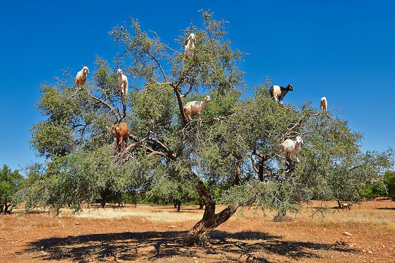 Goats feeding on Argan nuts in an Argon tree. Near Essouira,, Morocco (Paul E Williams)