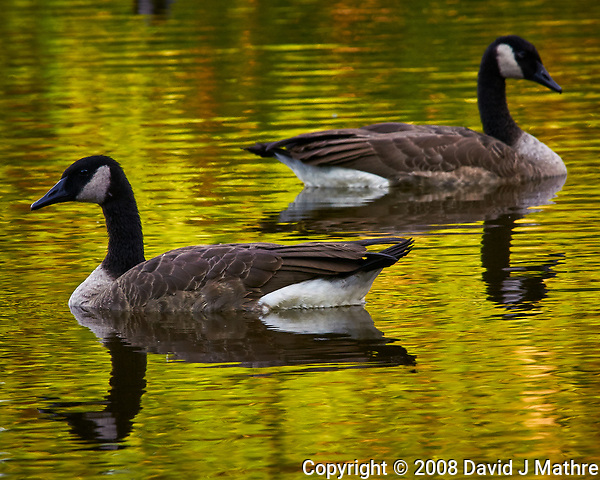 Canada Geese in the Pond. Image taken with a Nikon D300 camera and 80-400 VR lens (ISO 400, 330 mm, f/11, 1/80 sec). (David J Mathre)