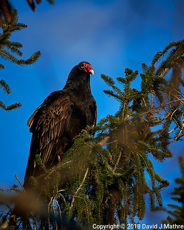 Turkey Vulture in a Tree. Winter Backyard Nature in New Jersey. Image taken with a Nikon Df camera and 80-400 mm VR lens (David J Mathre)
