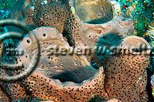 Brown Tube Sponge, Grand Cayman (Steven Smeltzer)