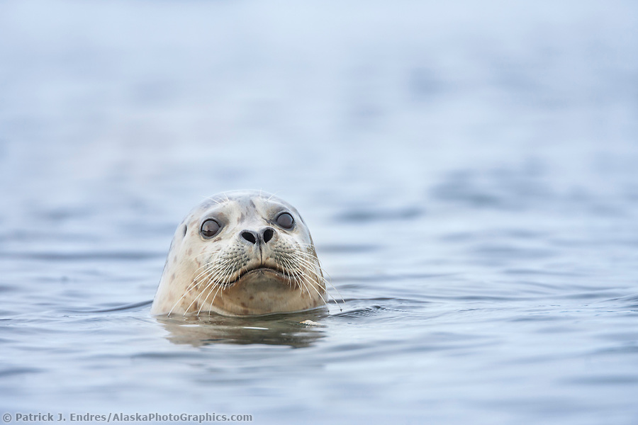 Harbor seal peers out of the water in Prince William Sound, Alaska (Patrick J. Endres / AlaskaPhotoGraphics.com)