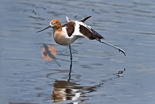 American Avocet in breeding colors, standing in water, stretching a leg and a wing (Sandra Calderbank, sandra calderbank)