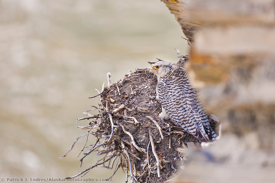 National Petroleum Reserve Alaska: Gyr falcon in white phase, on nest along a cliff of the Etivluk river, National Petroleum Reserve, Alaska. (Patrick J. Endres / AlaskaPhotoGraphics.com)