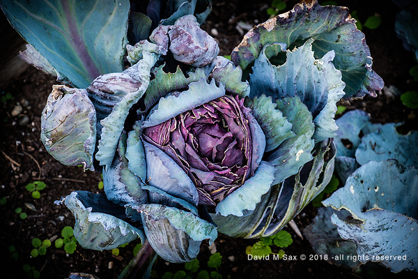 9.25.18 - In The Cabbage Patch... (© David M Sax 2018 - all rights reserved)