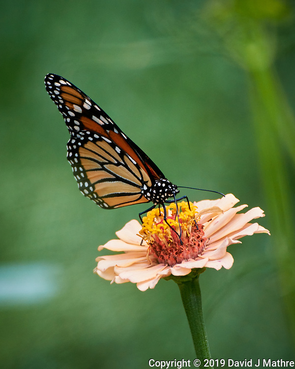 Monarch butterfly on a Zinnia flower. Image taken with a Nikon 1 V3 camera and 70-300 VR lens. (DAVID J MATHRE)
