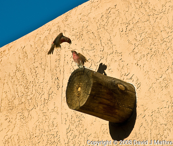 Pair of Male House Finches Fighting in Page Arizona. Image taken with a Nikon D300 and 18-200 mm lens (ISO 200, 200 mm, f/8, 1/640 sec) (David J. Mathre)