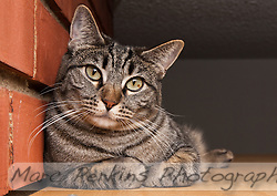 Kira, a brown tabby, relaxing on a shelf next to a brick wall.  I love how she looks mildly inquirous while also looking serenly peaceful and comfortable.  She's also got her paws cutely folded up underneath her.  How cat like! (Marc C. Perkins)