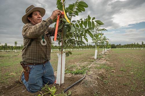 Ranchhand Gilbert Rodriguez grafts walnut trees near Winters, California (Clark James Mishler)
