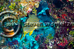 Bluestriped Grunt, Haemulon sciurus, Grand Cayman (Steven Smeltzer)