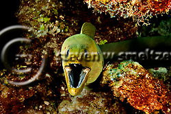 Green Moray Eel, Gymnothorax funebris, Ranzani, 1840, Grand Cayman (StevenWSmeltzer.com)
