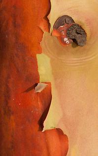 Madrona Tree (Arbutus menziesii) Close-up, San Juan Island, Washington, US (© Roddy Scheer www.roddyscheer.com)