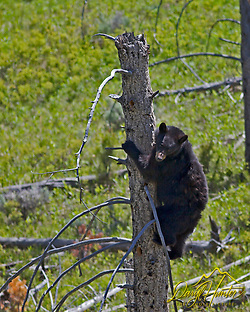 Black Bear climbing tree in Yellowstone National Park (