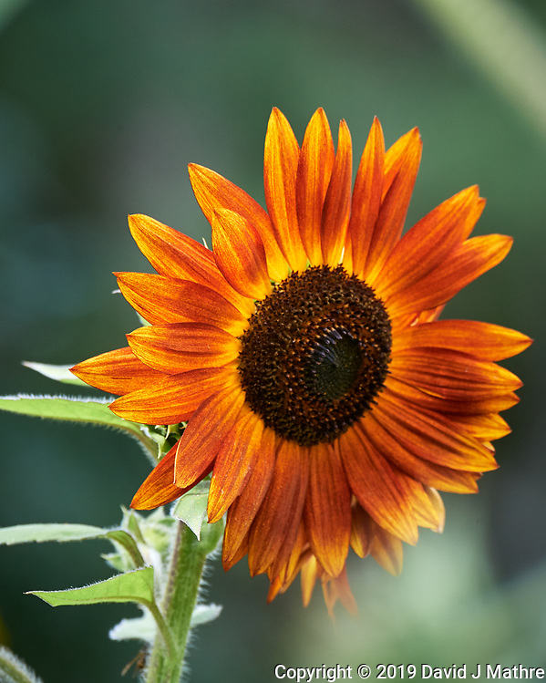 Sunflower. Image taken with a Nikon D5 camera and 80-400 mm VRII lens (ISO 1100, 400 mm, f/8, 1/800 sec). (DAVID J MATHRE)