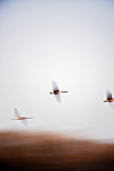 Canadian Geese in Flight (© 2008 Dean Oros Photo + Design)