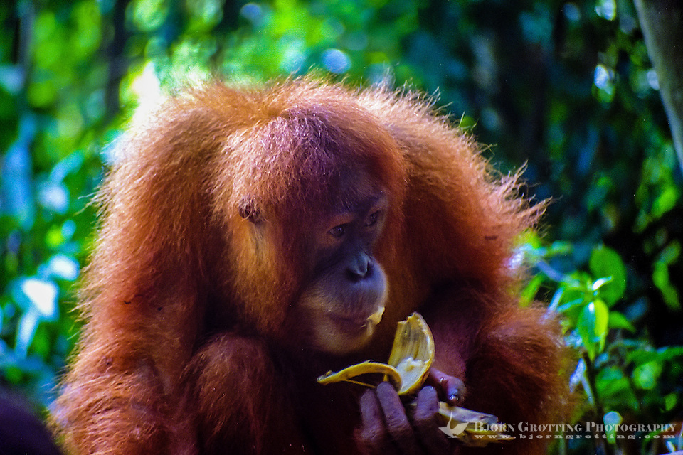 Indonesia, Sumatra. Bukit Lawang. Gunung Leuser National Park. The orangutan sanctuary of Bukit Lawang is located inside the park. At the feeding platform eating bananas. (Photo Bjorn Grotting)