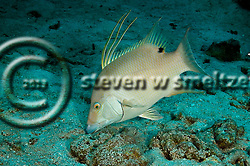 Hogfish, Intermediate, Lachnolaimus maximus, Grand Cayman (StevenWSmeltzer.com)