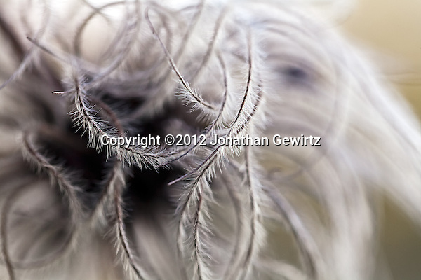 Abstract tendrils of an opened seed pod in a garden. (©2012 Jonathan Gewirtz)
