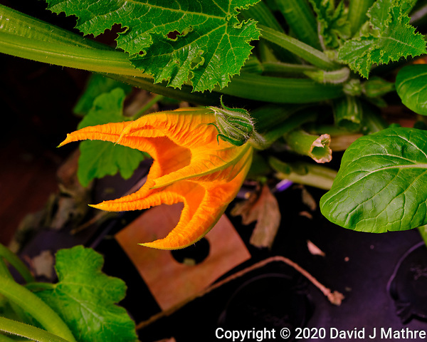 AeroGarden Farm 05-Right. Zucchini Bloom. Image taken with a Fuji X-T3 camera and 80 mm f/2.8 macro lens (ISO 200, 80 mm, f/8, 1/60 sec). (DAVID J MATHRE)
