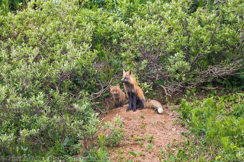 Red fox at den site with kits, Denali National Park, Alaska (Patrick J. Endres / AlaskaPhotoGraphics.com)