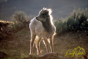 Backlit bighorn sheep lamb in northwest Yellowstone by Gardiner Montana.
