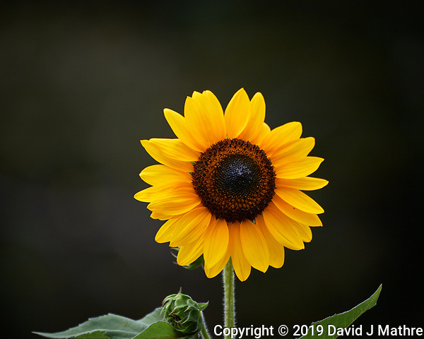 Sunflower. Image taken with a Nikon D5 camera and 80-400 mm VRII lens (ISO 180, 400 mm, f/5.6, 1/800 sec). (DAVID J MATHRE)