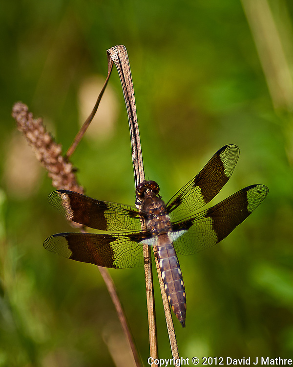 Dragonfly. Sourland Mountain Preserve. Image taken with a Nikon D800 camera and 300 mm f/2.8 lens (ISO 100, 300 mm, f/2.8, 1/2000 sec). (David J Mathre)