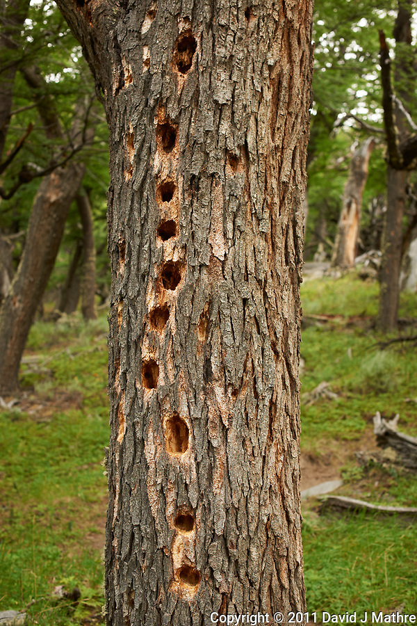 If a Tree in Patagonia is Attacked by a Magellanic Woodpecker Did Anyone Hear It? Hike from Hosteria El Pilar in El Chalten to El Mirador and Laguna Torre. Image taken with a Nikon D3x and 50 mm f/1.4G lens (ISO 100, 50 mm, f/4, 1/50 sec). (David J Mathre)