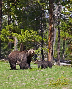 Grizzly #399 and cubs, Grand Teton National Park
