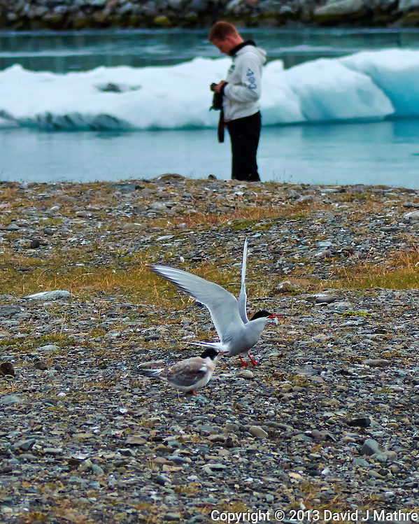 What is the Subject - The Arctic Tern with a Fish for its Chick, or the Photographer Chimping in front of the Ice Flow. Breiðamerkurjökull Glacier at the Jökulsárlón Lagoon in Southeast Iceland. Image taken with a Nikon 1 V2 camera, FT1 adapter, and 80-400 mm VRII lens (ISO 400, 80 mm, f/4.5, 1/2000 sec). (David J Mathre)