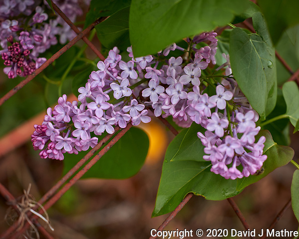 Lilac flowers. Image taken with a Leica CL camera and 60 mm f/2.8 lens (ISO 100, 60 mm, f/3.5, 1/400 sec). (DAVID J MATHRE)