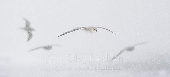 Northern Fulmar (Fulmarus glacialis) in Svalbard (Ole Jørgen Liodden)