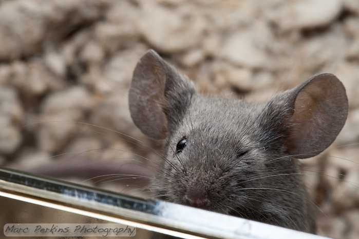 A gray male mouse winks at the camera, closing his left eye. (Marc C. Perkins)