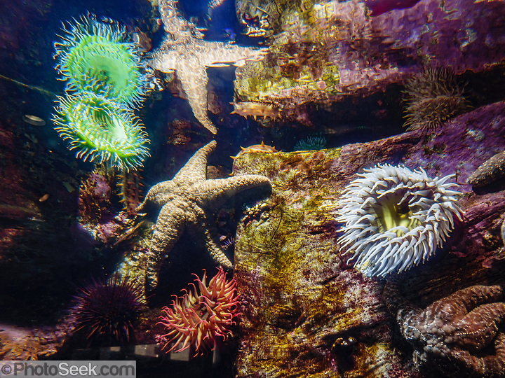 Sea anemones and other sealife at Oregon Coast Aquarium, Newport, Oregon, USA. (© Tom Dempsey / PhotoSeek.com)