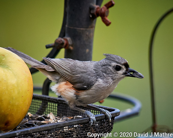 Tufted Titmouse. Image taken with a Nikon D5 camera and 600 mm f/4 VR lens (ISO 450, 600 mm, f/5.6, 1/1250 sec) (DAVID J MATHRE)