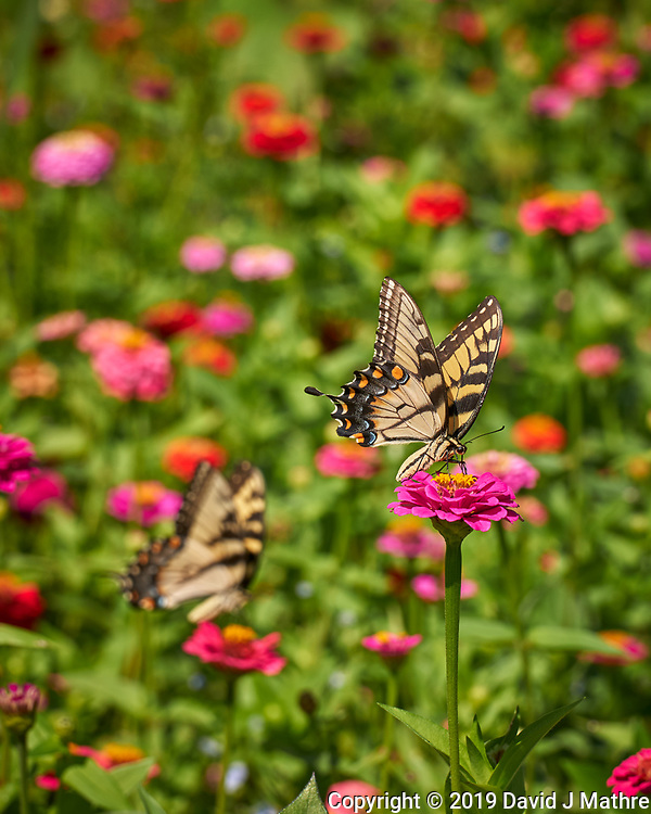 Tiger Swallowtail Butterfly. Image taken with a Leica CL camera and 55-135 mm lens (DAVID J MATHRE)