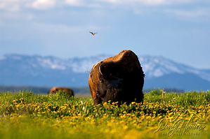 Bison, dandylions, blooming, Grand Teton National Park, Jackson, Hole, Wyoming (Daryl Hunter's &quot;The Hole Picture&quot;  Daryl L. Hunter has been photographing the Yellowstone Region since 1987, when he packed up his view camera, Pentex 6X7, and his 35mms and headed to Jackson Hole Wyoming. Besides selling photography Daryl also publ/Daryl L. Hunter)