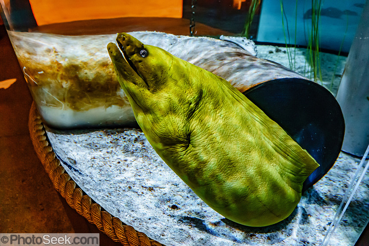 Green Moray Eel (Gymnothorax funebris). Oregon Coast Aquarium, Newport, Oregon, USA. (© Tom Dempsey / PhotoSeek.com)