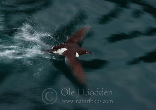 Brunnich´s Guillemot (Uria lomvia) in Svalbard (Ole Jørgen Liodden)