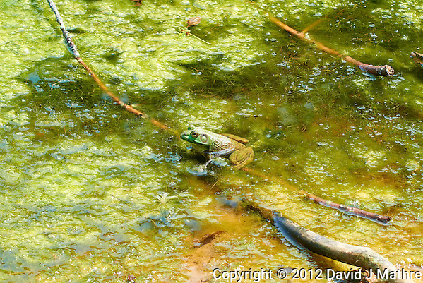 Bullfrog in a Pond at the Sourland Mountain Preserve. Summer Nature in New Jersey. Image taken with a Nikon 1 V1 + FT1 + 70-300 mm VR lens (ISO 200, 70 mm, f/5.6, 1/320 sec) and monopod. [FOV Equivalent to ~ 190 mm on a 35 mm image sensor] (David J Mathre)