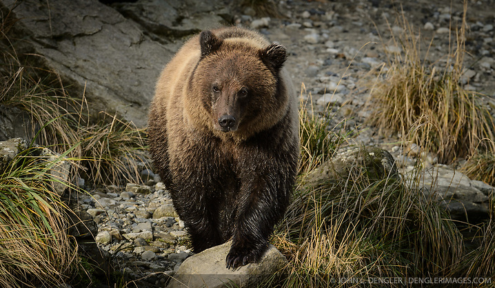A grizzly bear, known by locals as Sketchy, walks along the Chilkoot River at the Chilkoot Lake State Recreation Site near Haines, Alaska. The Chilkoot River outlet of Chilkoot Lake offers some of the best salmon fishing in Southeast Alaska. Four salmon runs are an open invitation for bears to feast on the spawning salmon. At times, the Chilkoot River Corridor has some of the highest bear activity in the state. The Chilkoot River corridor area is extremely narrow with room for an equally narrow road with few pullouts for tourists and fisherman causing traffic and congestion. This creates a serious conflict between humans and bears. Care must be taken by visitors to the area to protect themselves and the bears. Bear and human conflicts have been increasing in recent years to the point that a special human free zone was established to give bears access to the river. In addition a bear viewing platform is under development to provide a safer location for visitors to view bears feeding in the river. The area is part of the Chilkoot Lake State Recreational Site located near Haines, Alaska at the head of the Lutak Inlet in the Lynn Canal. The Chilkoot River ranks second in popularity for Southeast Alaska freshwater sports fishing. The area is also an important cultural area for the Tlingit people and site of a culture camp. (© John L. Dengler/Dengler Images)