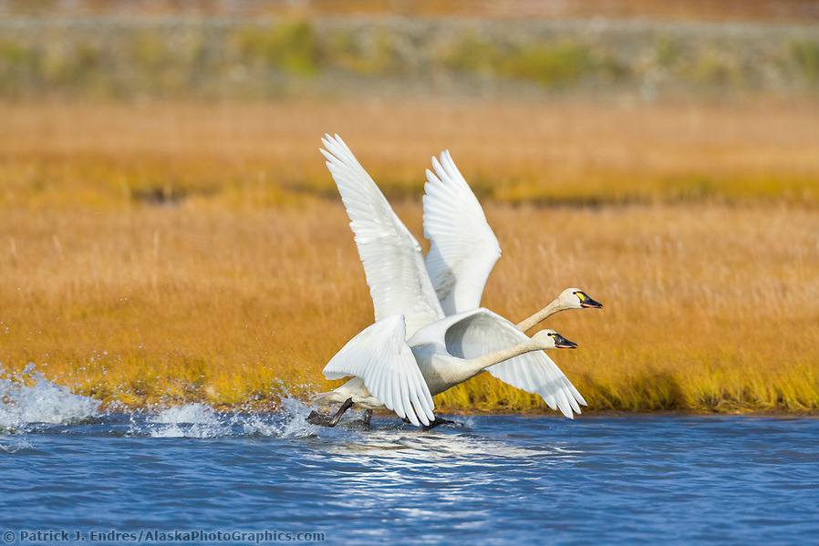 Alaska bird photos: Tundra swan migrate through Solomon, Seward Peninsula, western arctic, Alaska, during the autumn migration. (Patrick J. Endres / AlaskaPhotoGraphics.com)