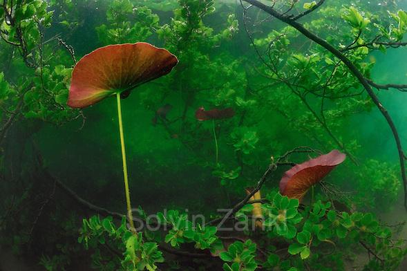White water lily (Nymphaea alba) lake Stechlin, Germany | Blätter der Weißen Seerose (Nymphaea alba) auf dem Weg zur Wasseroberfläche. Hier wachsen sie durch eine ins Wasser gefallene Baumkrone (Buche). Umgefallene Bäume sind typisch für den Uferbereich des Stechlinsees (Solvin Zankl)