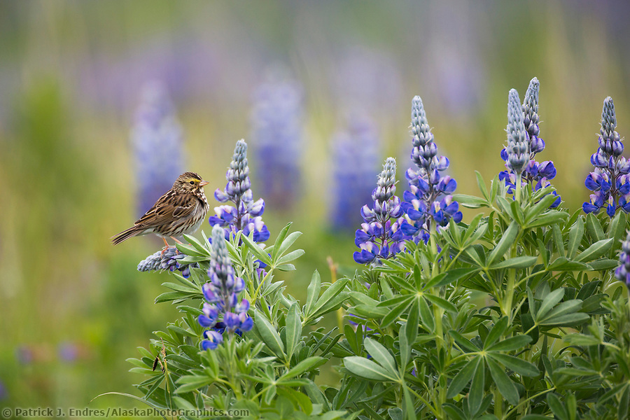Savannah sparrow perches on a lupine blossom in a field of wildflowers in Katmai National Park, Alaska Peninsula, southwest Alaska. (Patrick J. Endres / AlaskaPhotoGraphics.com)