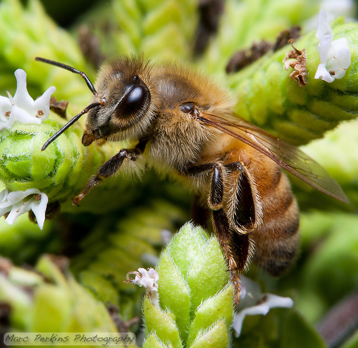 A bee (likely a honeybee; [Apis mellifera]) climbs a marjoram ([Origanum majorana]) inflorescence.  The bee's eye, antennae, wings, legs, and fine body hairs are all in focus, as are the pistils and stamen of some of the marjoram flowers. (Marc Perkins)