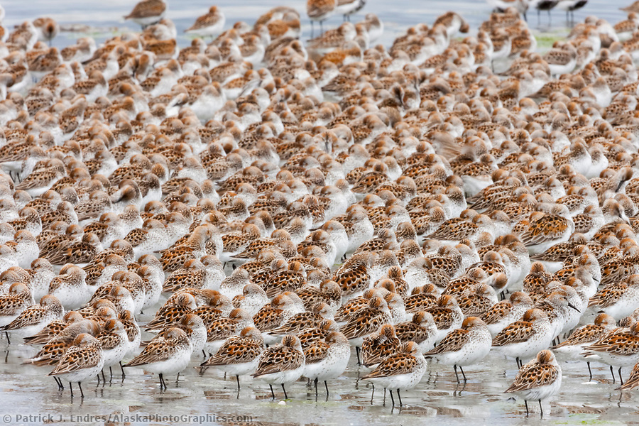 Flocks of shorebirds, dominated by Western sandpipers flock to the shores of Hartney Bay, Copper River Delta, Prince William Sound, Alaska, to refuel during their migration to summer nesting grounds. (© Patrick J Endres / www.AlaskaPhotoGraphics.com)