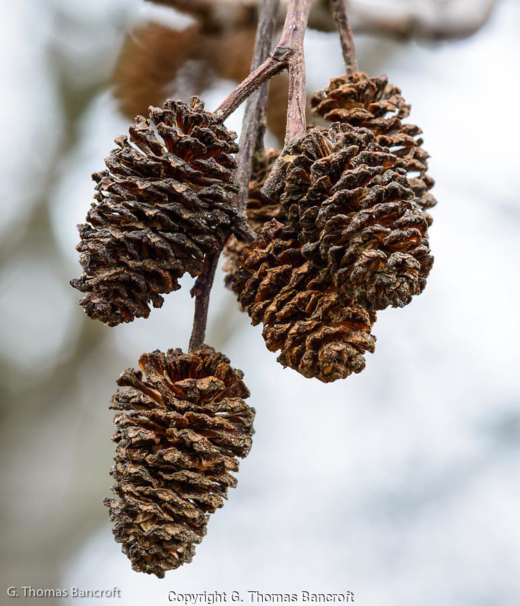 The seeds had already dropped from the alder's pod and they looked just like minuature pine cones. (G. Thomas Bancroft)