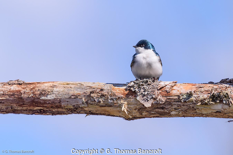A tree swallow sits crosswise on a dead branch. The blue-green feathers of its head glisten in the sun and its white breast feathers so their shoft texture. These insectivorous birds use keen eye-sight to catch flying insects. often foraging over wetlands. (G. Thomas Bancroft)