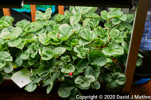 AeroGarden Farm 07-Right. Strawberry Plants (101 days). Image taken with a Leica TL-2 camera and 35 mm f/1.4 lens (ISO 500, 35 mm, f/8, 1/30 sec). (DAVID J MATHRE)