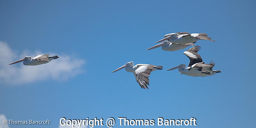 The Australian pelicans fixed their seven-foot wings and began to glide in an effortless manner. (G. Thomas Bancroft)